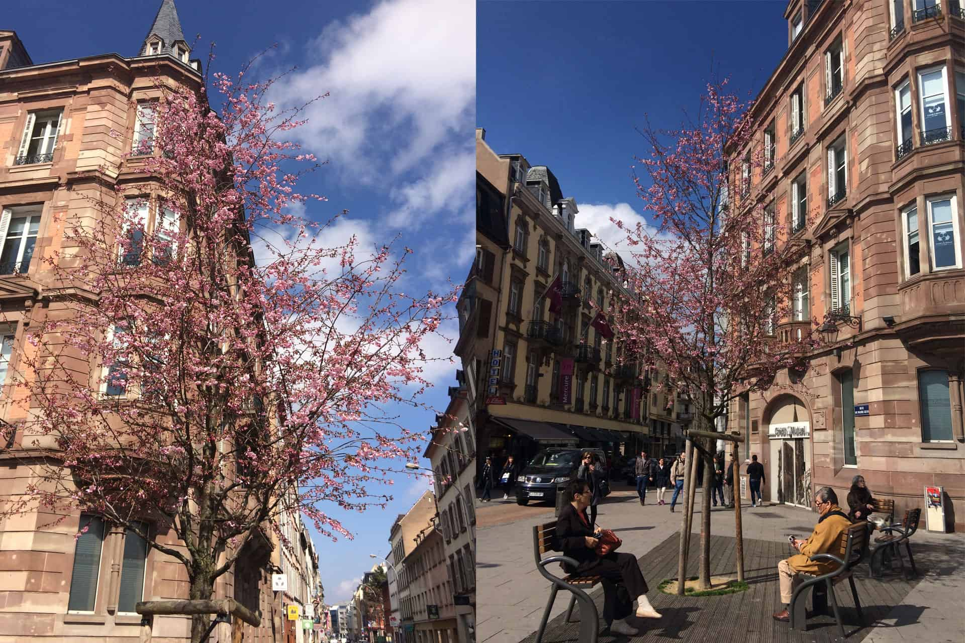 Cherry Blossom in Strasbourg, look at how the people of Strasbourg enjoying their chat under a cherry tree.